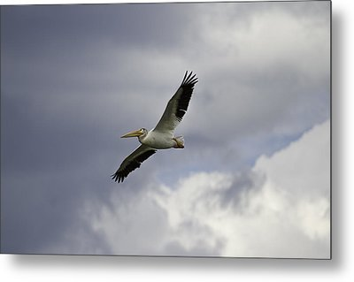 Pelican In Flight Metal Print by Thomas Young