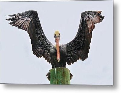 Pelican Poser Metal Print by Paulette Thomas