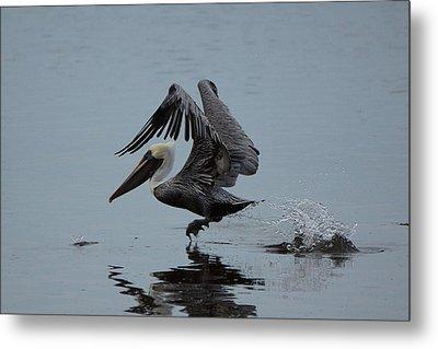 Pelican Takeoff Metal Print by Scott Dovey