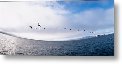 Pelicans Flying Over The Sea, Alcatraz Metal Print by Panoramic Images