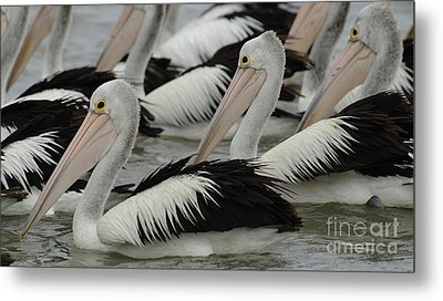 Pelicans Galore Metal Print by Bob Christopher