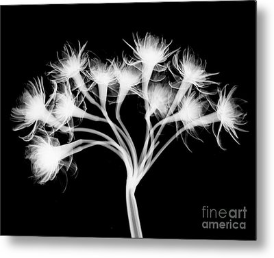 Pentaster Blossom X-ray Metal Print by Bert Myers