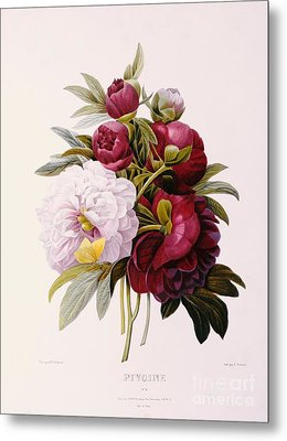 Peonies Engraved By Prevost Metal Print by Pierre Joseph Redoute