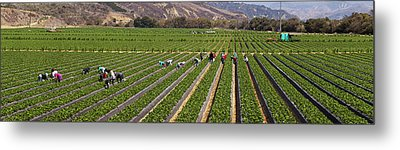 People Picking Strawberries In A Field Metal Print by Panoramic Images