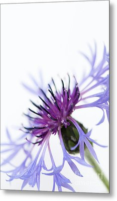 Perennial Cornflower Metal Print by Anne Gilbert