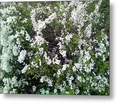 Perfect White Spring Blossoms Metal Print by PainterArtist FIN