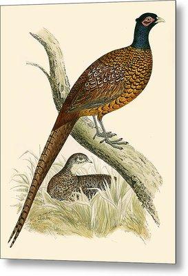 Pheasant Metal Print by Beverley R Morris