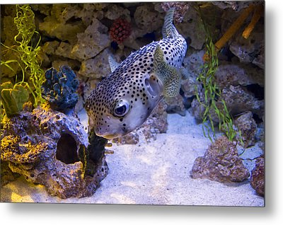 Puffer Fish Swimming Metal Print by Chris Flees
