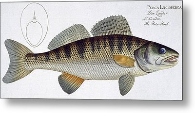 Pike Perch Metal Print by Andreas Ludwig Kruger