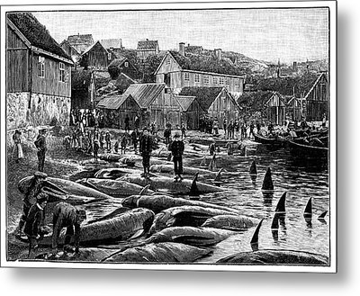 Pilot Whale Hunt Metal Print by Science Photo Library