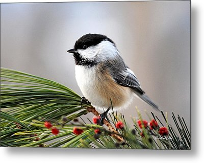 Pine Chickadee Metal Print by Christina Rollo