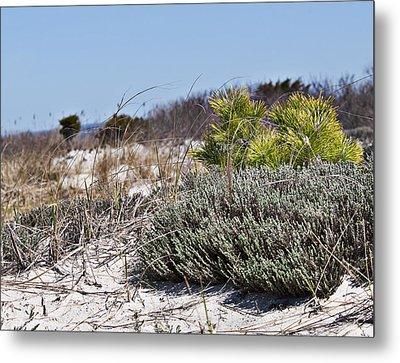 Pine On The Sand Dune Metal Print by Alida Thorpe