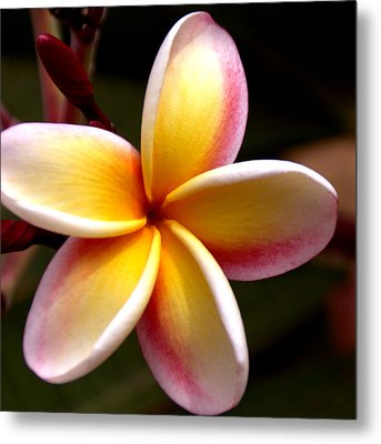 Pink And Yellow Plumeria Metal Print by Brian Harig