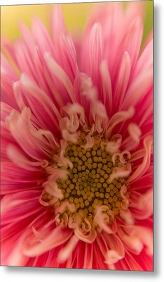 Pink Aster Metal Print by Benita Walker