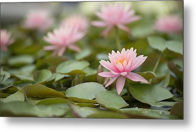 Pink Blossom  Metal Print by Joey  Maganini