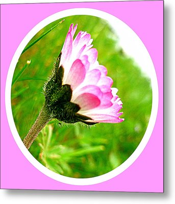 Pink Daisy  Metal Print by The Creative Minds Art and Photography