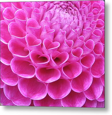 Pink Delight Metal Print by Brian Chase