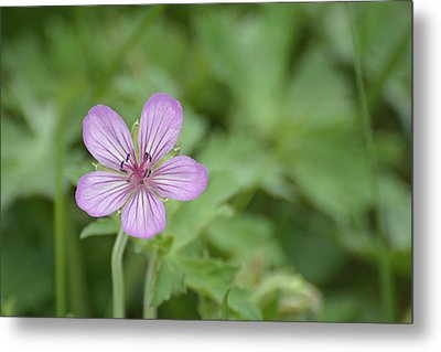 Pink Geranium In Bloom In Yellowstone Metal Print by Bruce Gourley
