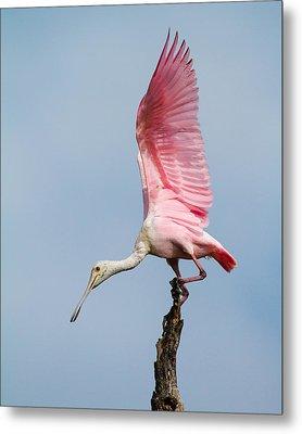 Pink Spoonbill Ready For Takeoff Metal Print by Bill Swindaman