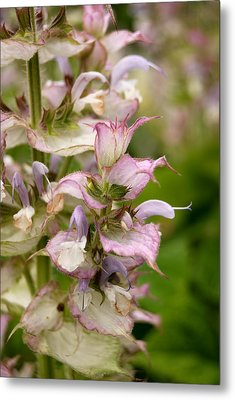 Pink Summer Sage Metal Print by Eva Kaufman