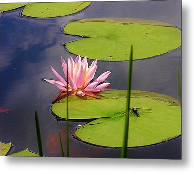 Pink Water Lily And Dragonfly Metal Print by Sherman Perry