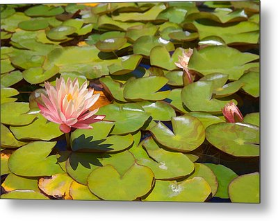 Pink Waterlilies In Koi Pond Metal Print by Cliff Wassmann