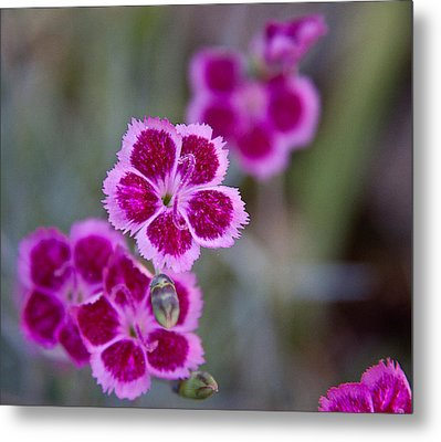 Pinks Metal Print by Frank Tozier