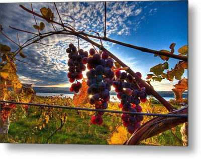 Pinot On The Vine Metal Print by Walter Arnold
