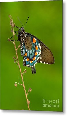 Pipevine Swallowtail Metal Print by Anthony Heflin