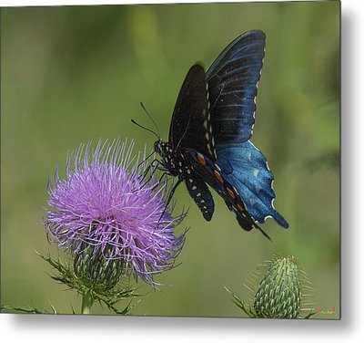 Pipevine Swallowtail Visiting Field Thistle Din158 Metal Print by Gerry Gantt