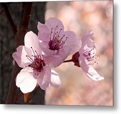 Plum Blossoms Metal Print by Rona Black
