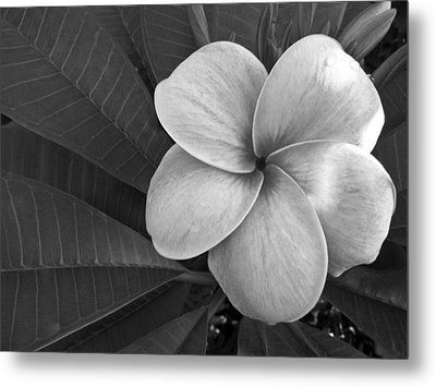 Plumeria With Raindrops Metal Print by Shane Kelly