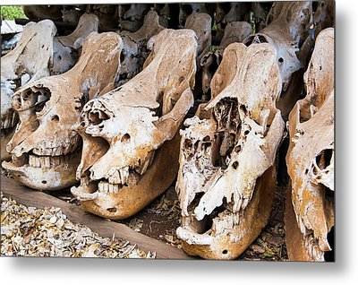 Poached Rhino Skulls Display Metal Print by Peter Chadwick