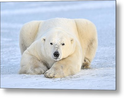 Polar Bear On Pack Ice Churchill Metal Print by Andre Gilden