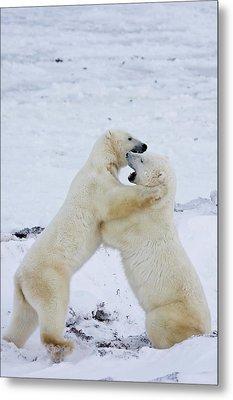 Polar Bears Ursus Maritimus Sparring Metal Print by Panoramic Images