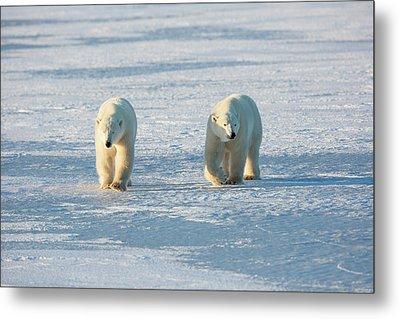 Polar Bears Ursus Maritimus Walking Metal Print by Panoramic Images