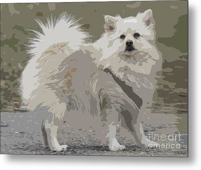 Pomeranian Dog Metal Print by Jivko Nakev