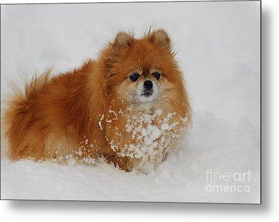 Pomeranian In Snow Metal Print by John Shaw