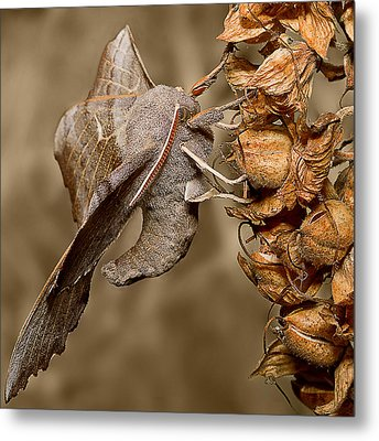 Poplar Hawk Moth Metal Print by Mr Bennett Kent