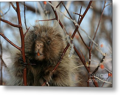 Porcupine And Berries Metal Print by Marty Fancy