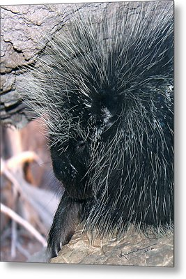 Porcupine Metal Print by Kume Bryant