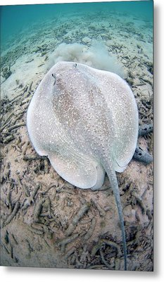 Porcupine Ray On Coral Rubble Metal Print by Scubazoo