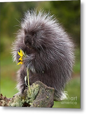 Porcupine With Arrowleaf Balsamroot Metal Print by Jerry Fornarotto