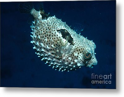 Porcupinefish Deflating Metal Print by Gregory G. Dimijian, M.D.