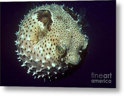 Porcupinefish Metal Print by Gregory G. Dimijian