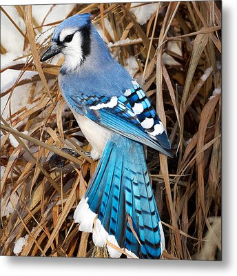 Portrait Of A Blue Jay Square Metal Print by Bill Wakeley