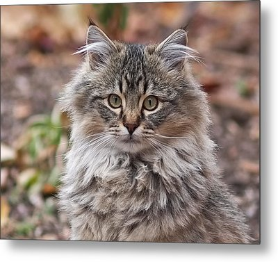 Portrait Of A Maine Coon Kitten Metal Print by Rona Black