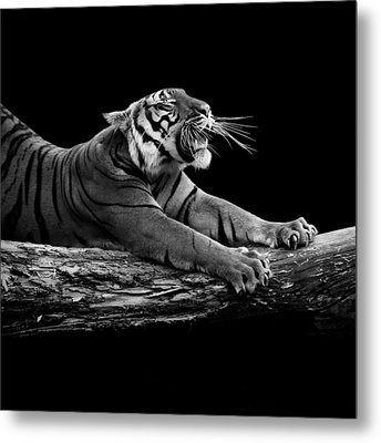 Portrait Of Tiger In Black And White Metal Print by Lukas Holas