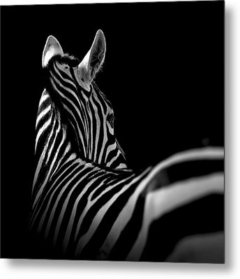 Portrait Of Zebra In Black And White II Metal Print by Lukas Holas