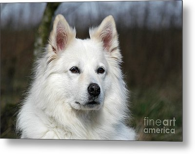 Portrait White Samoyed Dog Metal Print by Dog Photos